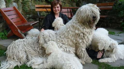 KOMONDOR- reliable guardian of your family and property! - Komondor (053)