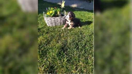 Welpen Grosser Schweizer Sennenhund - Grosser Schweizer Sennenhund (058)