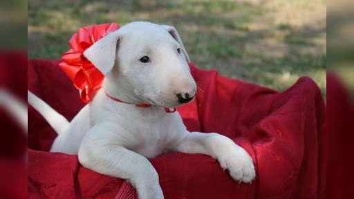 Bull Terrier - Bullterrier (011)