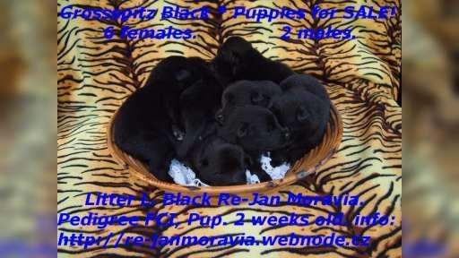 Grossspitz schwarz - Giant German Spitz Black puppies for sale. - Deutscher Spitz (097)