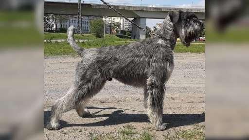 Riesen schnauzer puppy - Riesenschnauzer (181)
