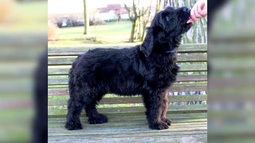 Briard - black puppies - Briard (113)