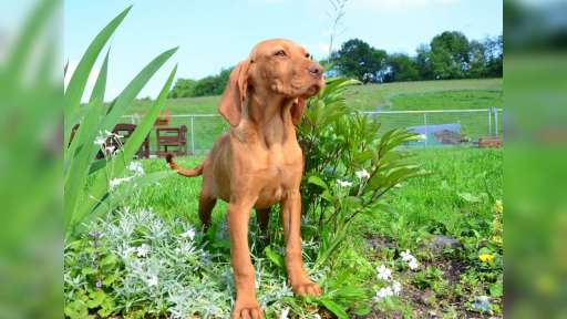 Magyar Vizsla Welpe /Rüde - Hungarian Short-Haired Pointing Dog (057)