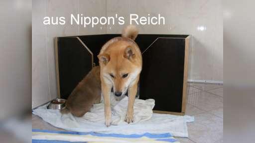 Seit 18 Jahren Shiba Inu Zucht aus Nippon's Reich - Shiba (257)