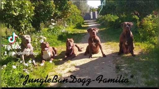 Bandog  - Hybridhund