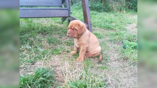 Puppies for sell  - Bordeauxdogge (116)