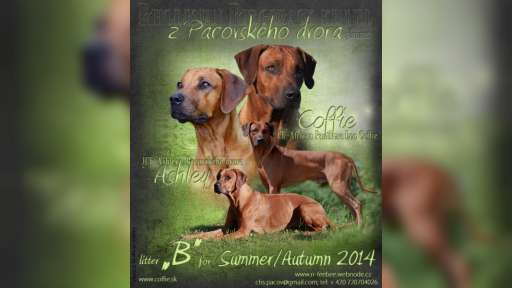 Rhodesian Ridgeback with pedigree - puppies - Rhodesian Ridgeback (146)