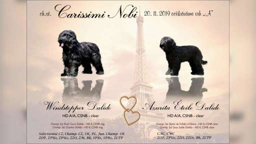 Briard - black puppies - Briard (113)